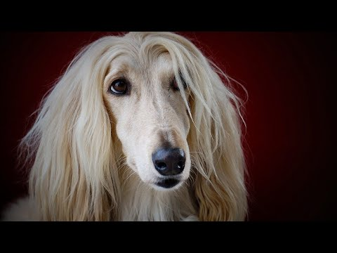Amazing Facts on Afghan Hound | In Hindi | Dog Facts | Animal Channel Hindi
