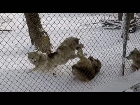 Alpha Male Wolf at the animal sanctuary getting angry