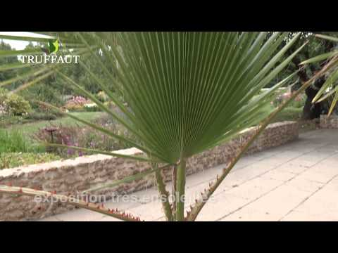 Comment planter un palmier Washingtonia robusta ? - Jardinerie Truffaut TV
