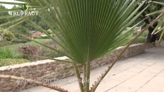Comment planter un palmier Washingtonia robusta ? - Jardinerie Truffaut TV