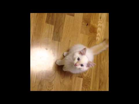 Flame-point Ragdoll kitten cries for food.