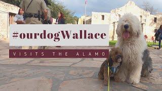 Old English Sheepdog sees the Alamo┃Ed&Mel