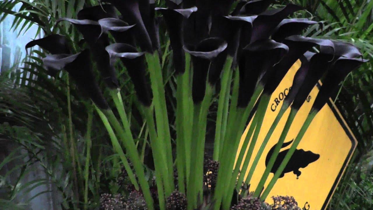 Calla lily odessa black calla lily bulbs youtube izmirmasajfo