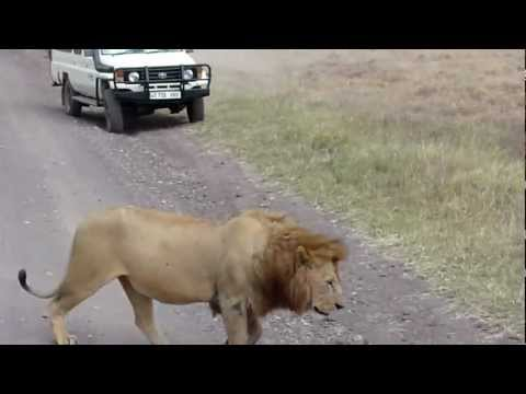Lion Walking by Safari Vehicles in Ngorongoro Conservation Area
