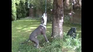 Bowser American Pit Bull Terrier Spring Pole  , Exercise Fun!!!