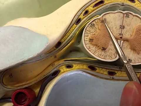 Neuroanatomy spinal cord cross section - YouTube