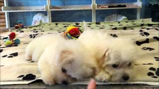 Maltese Pupies, Brother And Sister Playing Through The Glass