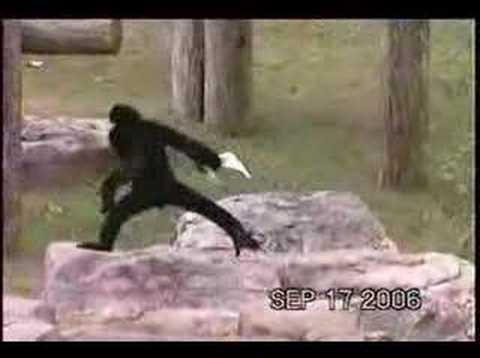 White Cheeked Gibbon 001