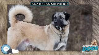Anatolian Shepherd  Everything Dog Breeds