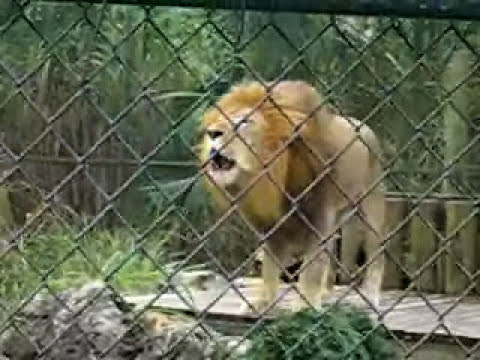 Amazing lion goes Crazy at the Naples Zoo!
