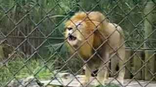 amazing lion goes crazy at the naples zoo