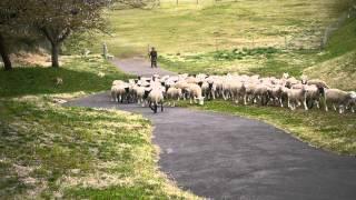 マザー牧場にて。 放牧犬に誘導されながら行進する約150頭の羊の大行進。
