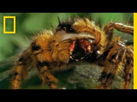 Bee vs. Jumping Spider   National Geographic