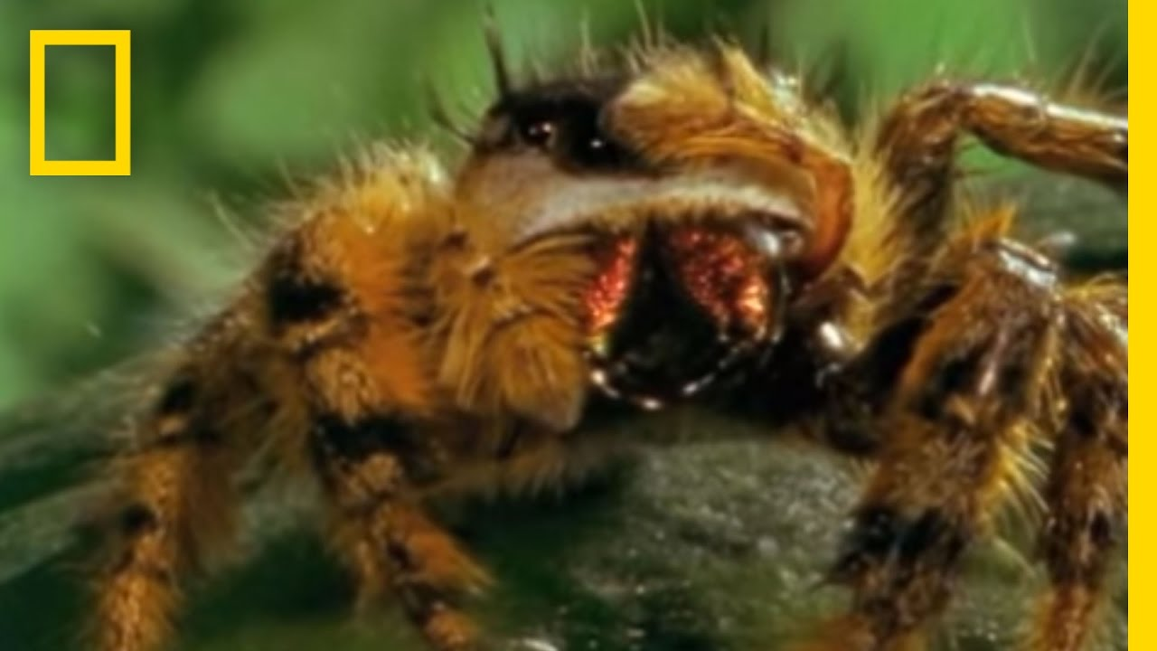 bee vs jumping spider national geographic youtube