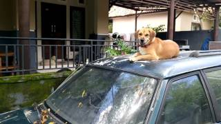 Bali dog named Mini supposes to guard her house , but she thought h...