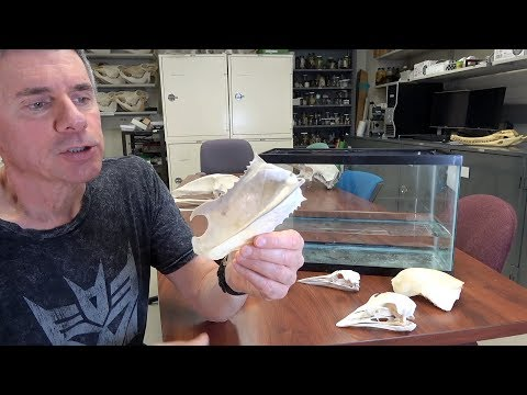 Random Act of Anatomy - ratite & carinate birds - ships that pass in the night