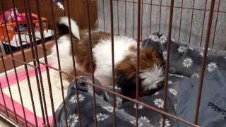 シーズー 2ヶ月の仔犬にピーピー鳴るオモチャを与えたところ、最初は警...