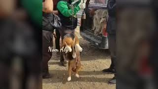 Basset hound weighed at China meat trade auction