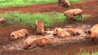 Prática de bem-estar animal privilegia sistema diferente de manejo de porcos