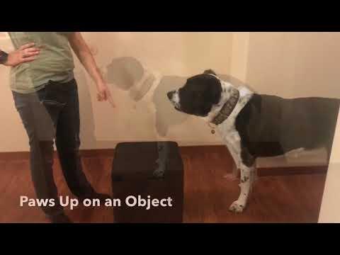 Nikita the Central Asian Shepherd - Novice Trick Dog