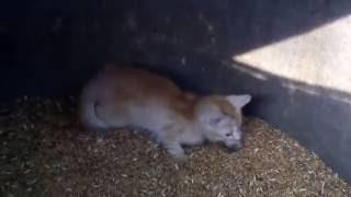 Котенок нападает на мишей
