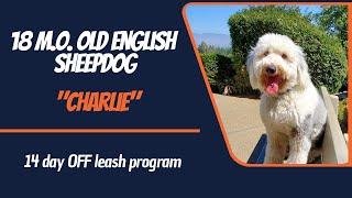 OLD ENGLISH SHEEPDOG / DOG TRAINING