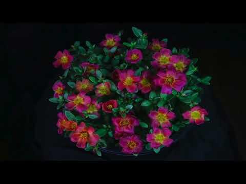 Amazing tropical flower timelapse ( NUGREEN fertilizer advert )