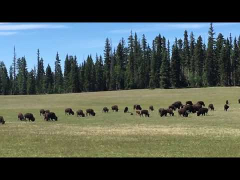 Bison herd near Grand Canyon north rim - 2016