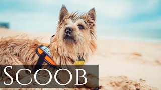 Cairn Terrier 'Scoob' | Puppy Transformation | Amazing Obedience