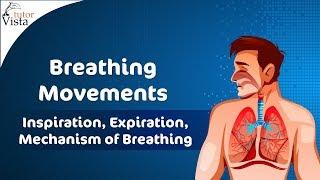 Breathing Movements - Inspiration, Expiration, Mechanism of Breathing