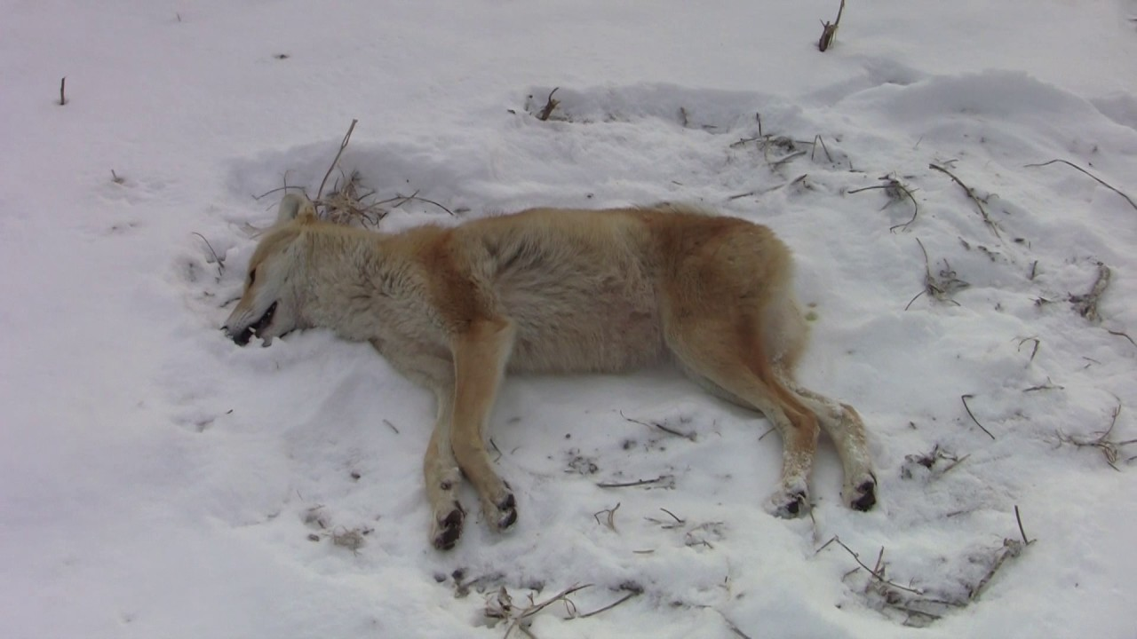 My 250 yard Running Shot On A Blonde (Color Phase) Coyote ...  My 250 yard Run...