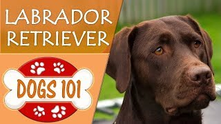 Dogs 101  LABRADOR RETRIEVER  Top Dog Facts About LAB Breeds