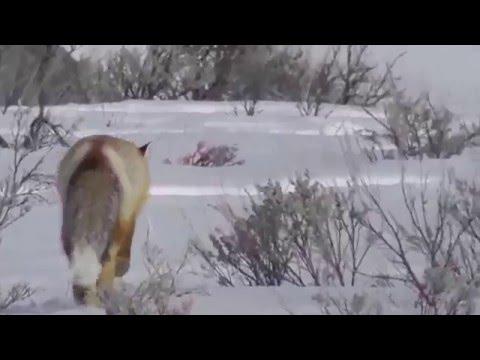 Beautiful Fox in Yellowstone