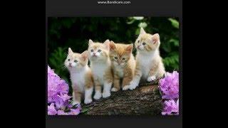Кошачья песня