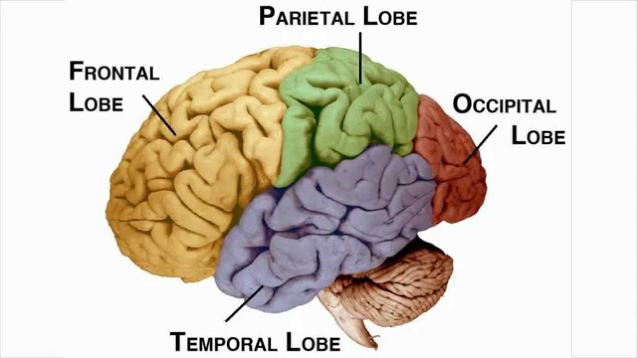 Learn The Four Lobes Of The Brain Youtube