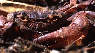 ants-vs-crab-natural-world-ant-attack-bbc-earth