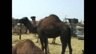 Camel's market Morocco (targ wielbłądów Maroko)