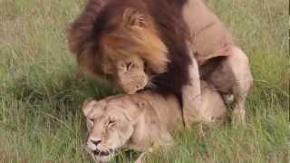 lion having ,masai mara aslan sevişirken ,Kenya - Masai Mara,aslan