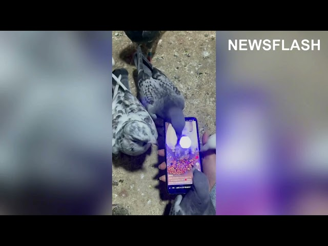 Pigeons Peck Owners Phone As It Plays Video Showing Another Bird Tucking Into Huge Pile Of Seed