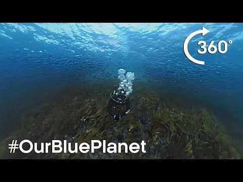 360° Norwegian Kelp Forest Soundscape #OurBluePlanet - BBC Earth