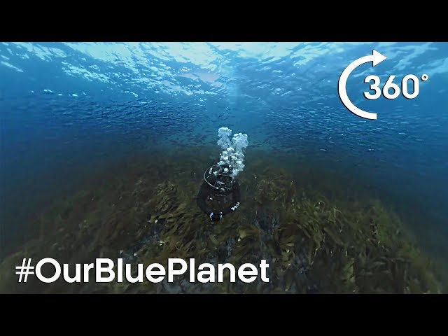 360° Norwegian Kelp Forest Soundscape #OurBluePlanet | BBC Earth