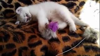 Шотландский прямоухий кот, окрас серебристо затушеванный колор-пойнт, с голубыми глазами.