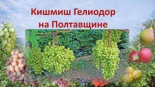 Виноград 2018. Виноград кишмиш Гелиодор на Полтавщине