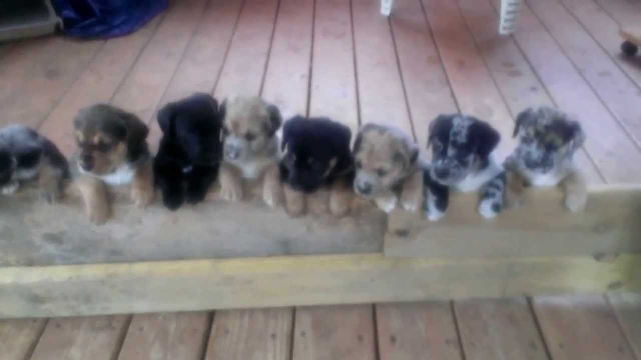 rottweiler puppies mix catahoula youtube