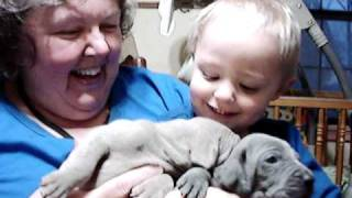 Mom And Will With Sallie's 3 Week Old Weimaraner Puppies
