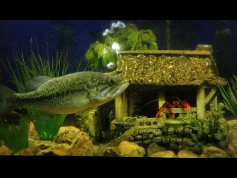Crawfish living in fish tank with my two pet bass youtube for Bass fish tank