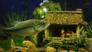 crawfish living in fish tank with my two pet bass