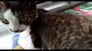 Кудрявая кошка девон-рекс