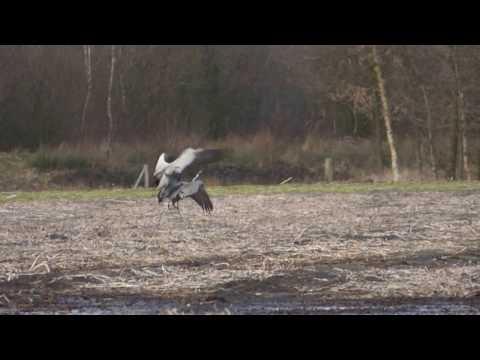 Baltsende kraanvogels in