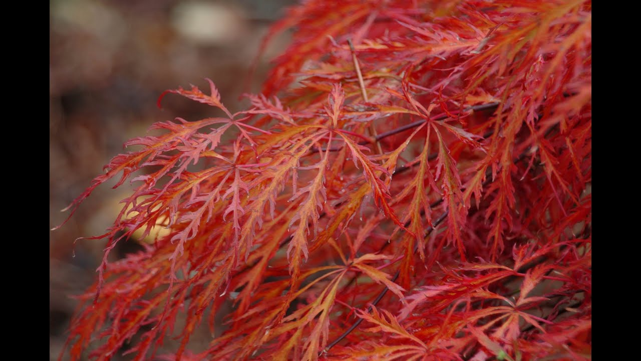 acer palmatum var dissectum 39 garnet 39 japanese maple youtube. Black Bedroom Furniture Sets. Home Design Ideas
